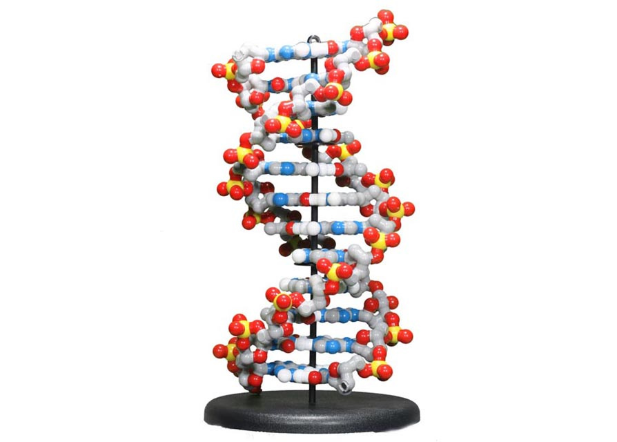 Double helix dna model male models picture