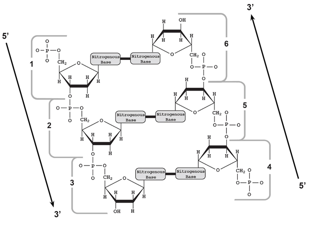 Flow of Genetic Information Kit Replication Activity Guide