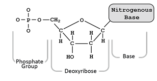 Flow of genetic information kit replication activity guide student the hydroxyl group oh shown in the above illustration has been added to the photo of the nucleotide since this particular model of a nucleotide doesnt ccuart Images